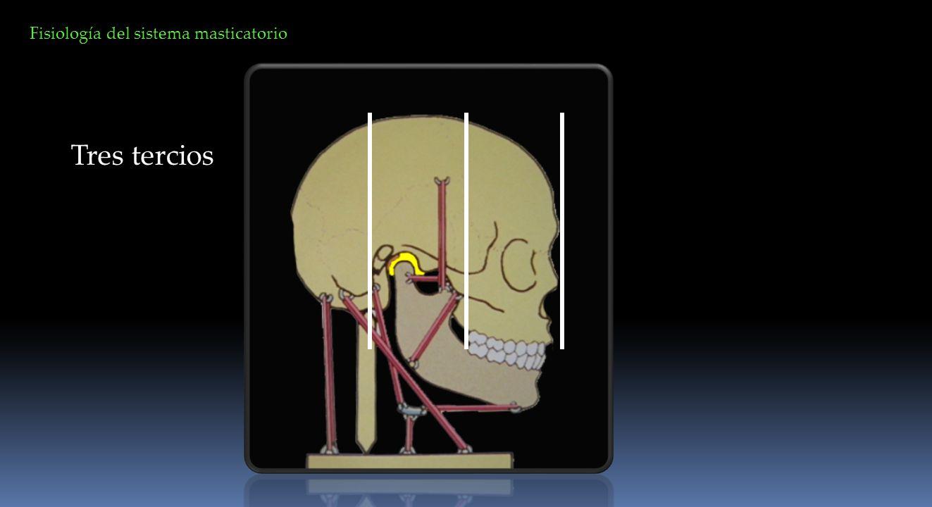 La función del sistema masticatorio es compleja y las cadenas musculares requieren de una contracción y relajación coordinada de los músculos de cabeza y cuello.