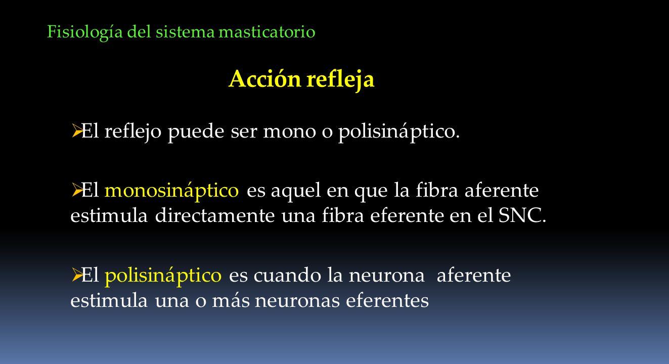Acción refleja El reflejo puede ser mono o polisináptico. El monosináptico es aquel en que la fibra aferente estimula directamente una fibra eferente