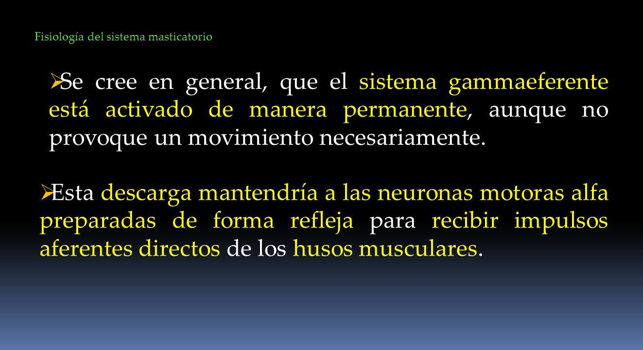 Se cree en general, que el sistema gammaeferente está activado de manera permanente, aunque no provoque un movimiento necesariamente. Fisiología del s