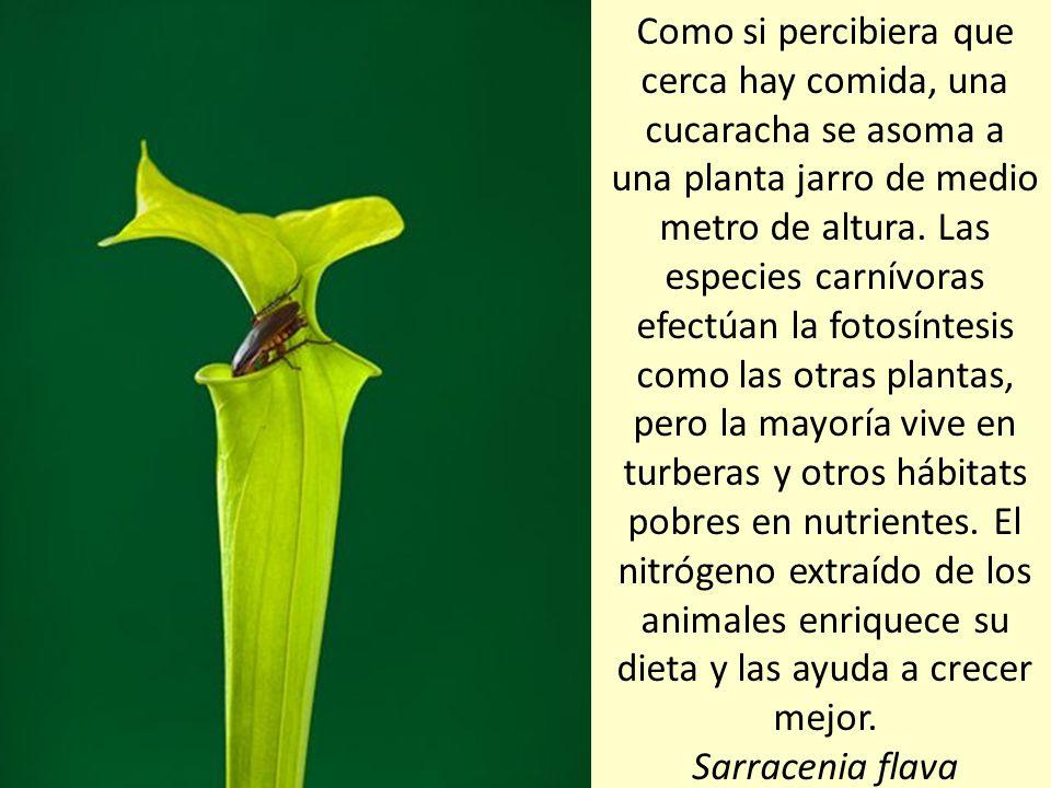 La mayoría de las plantas carnívoras se alimentan de unos insectos que no son los que necesitan para reproducirse. Algunas especies carnívoras, como e