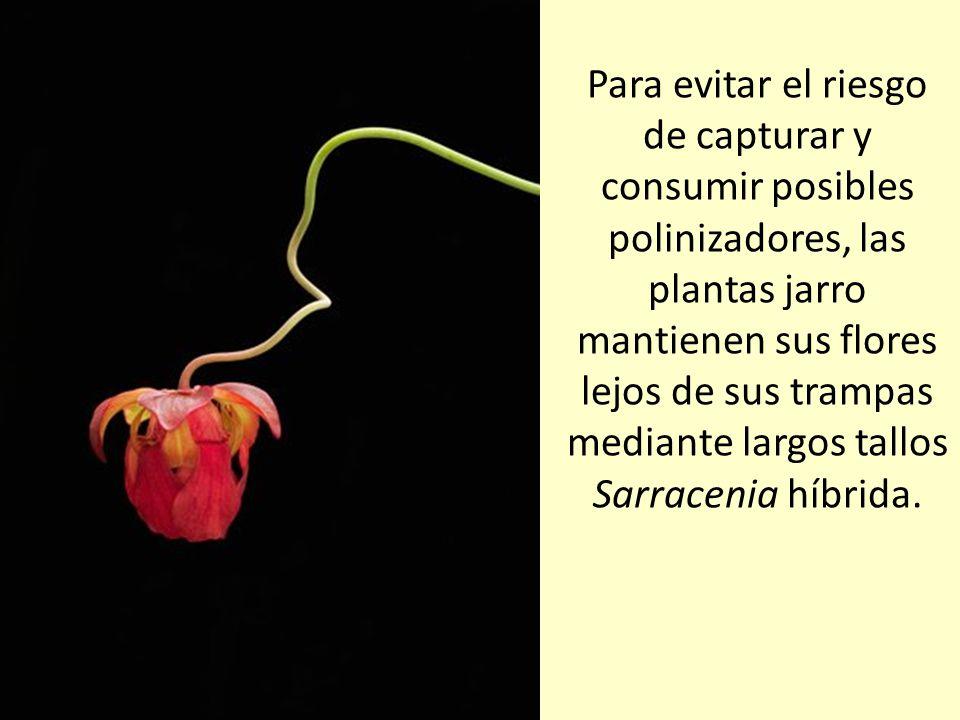 Como si percibiera que cerca hay comida, una cucaracha se asoma a una planta jarro de medio metro de altura. Las especies carnívoras efectúan la fotos