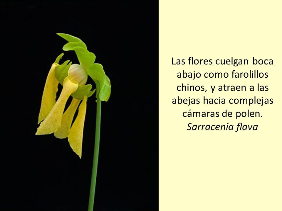 Para evitar el riesgo de capturar y consumir posibles polinizadores, las plantas jarro mantienen sus flores lejos de sus trampas mediante largos tallo