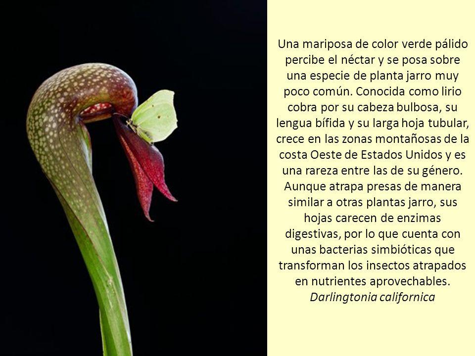 Muchas de las más de 675 especies de plantas carnívoras que hay en el mundo tienden trampas pasivas. Una grasilla del tamaño de un bollo presenta eriz