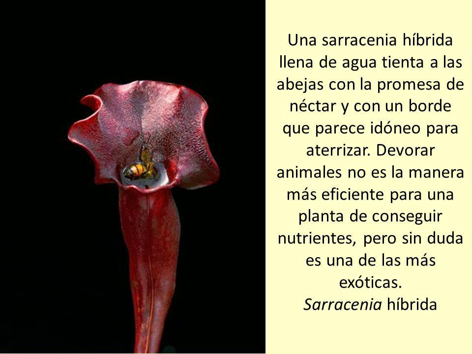 Las plantas carnívoras atraen algunos insectos para devorarlos, pero necesitan a otros para una tarea más benévola: la polinización. Heliamphora minor
