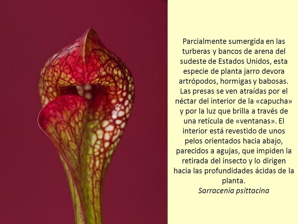 Un caracol avanza solemnemente por la hoja enrollada de una planta jarro amarilla. Algunos científicos piensan que la forma ondulada del nervio vertic