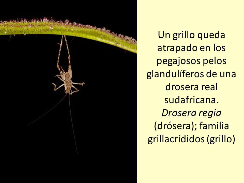 Parcialmente sumergida en las turberas y bancos de arena del sudeste de Estados Unidos, esta especie de planta jarro devora artrópodos, hormigas y bab