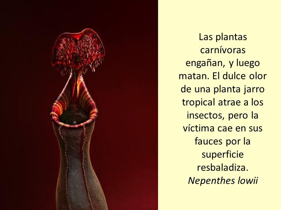Las plantas carnívoras engañan, y luego matan.