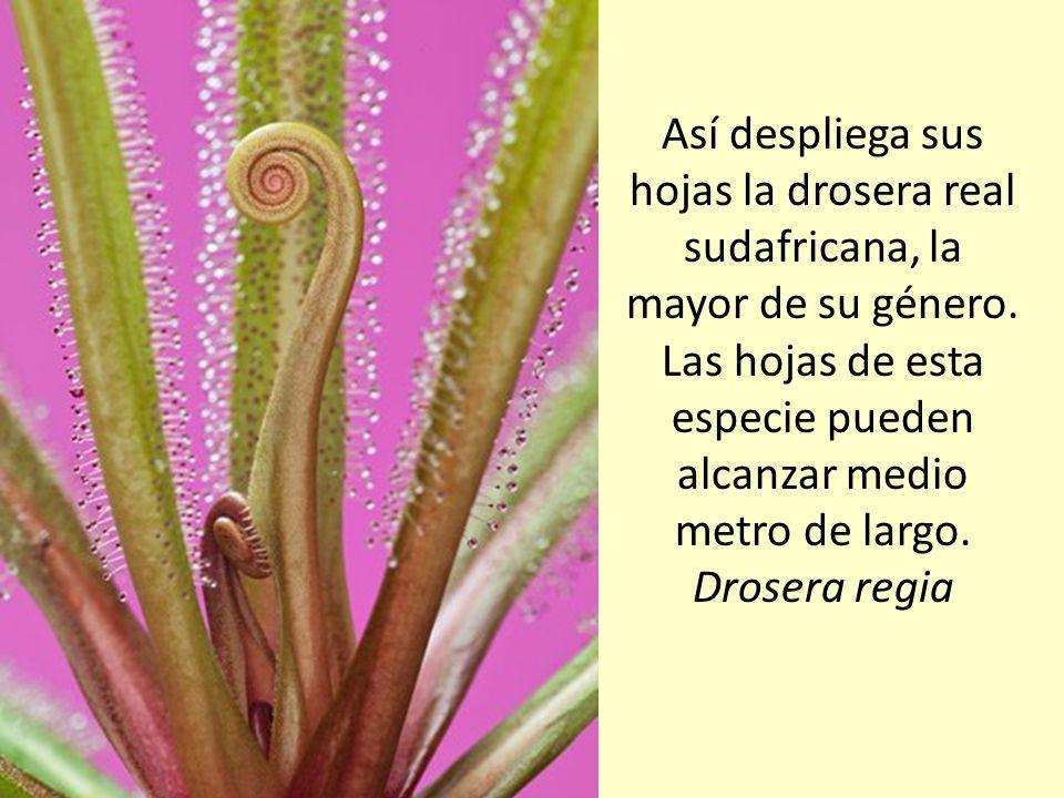 Así despliega sus hojas la drosera real sudafricana, la mayor de su género.
