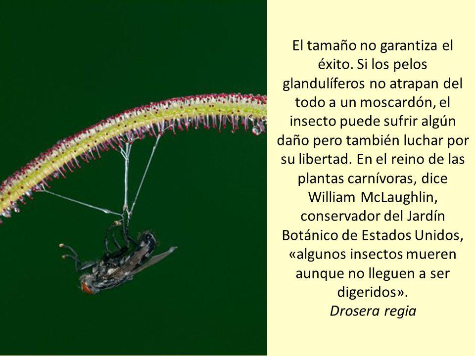 Así despliega sus hojas la drosera real sudafricana, la mayor de su género. Las hojas de esta especie pueden alcanzar medio metro de largo. Drosera re