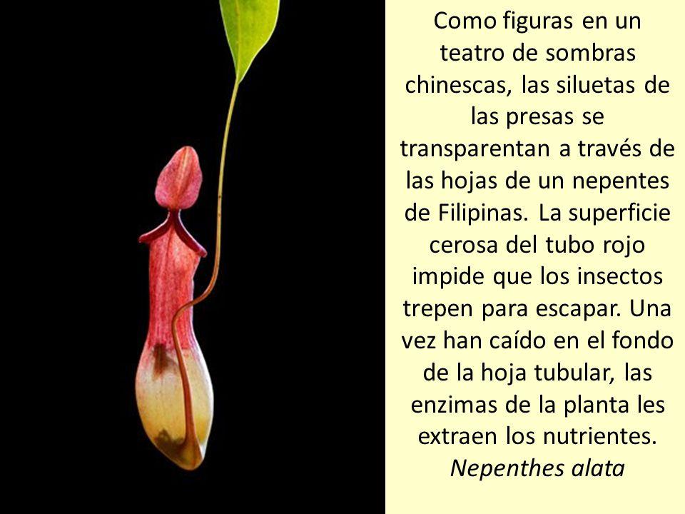 La atrapamoscas se cierra cuando algo roza dos veces los pequeños pelos táctiles del centro de la hoja. Dionaea muscipula