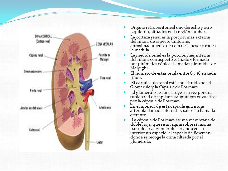 Órgano retroperitoneal uno derecho y otro izquierdo, situados en la región lumbar. La corteza renal es la porción más externa del riñón, de aspecto un