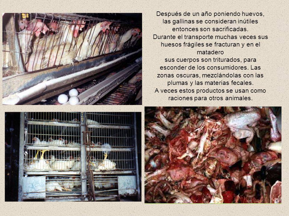 Las gallinas mantenidas en esas condiciones, llegan a poner mas de 250 huevos por año, quedando tan debilitadas que frecuentemente mueren con los huev