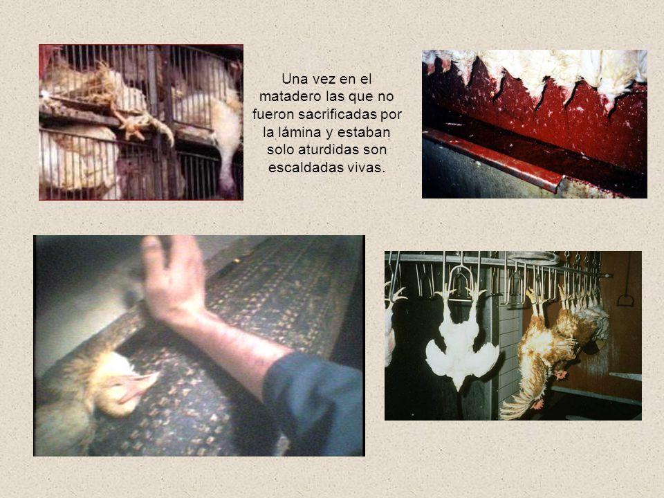 Las gallinas inútiles, que no rinden mas como ponedoras son llevadas al matadero en cajas abiertas, hambrientas, con fracturas óseas y muchas veces co