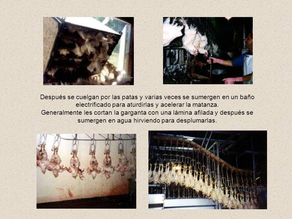 Una vez en el matadero las que no fueron sacrificadas por la lámina y estaban solo aturdidas son escaldadas vivas.