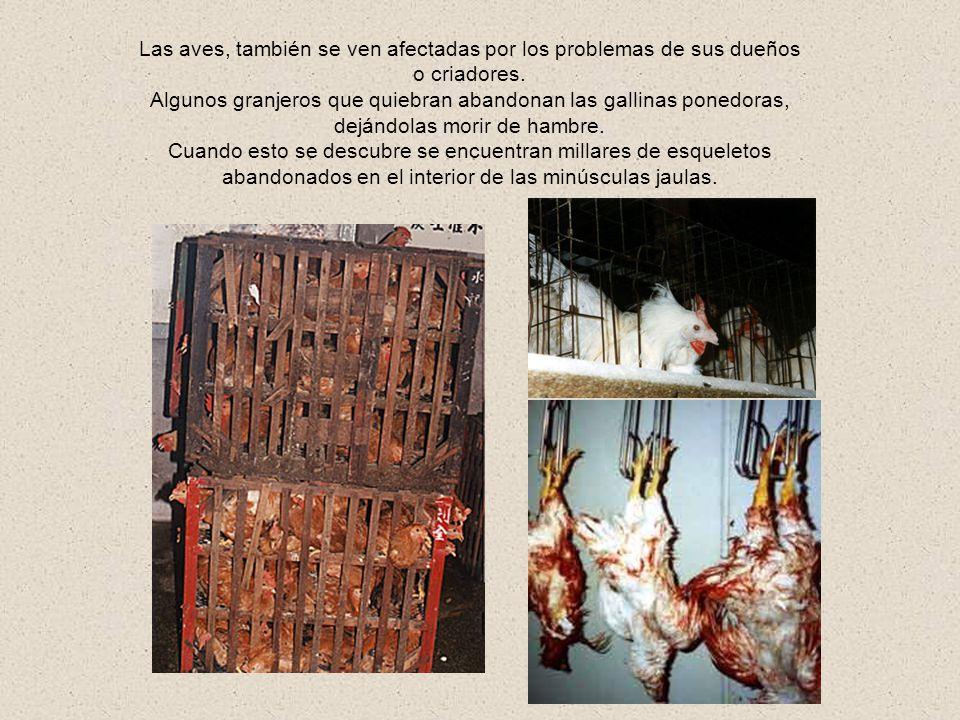 Esta última etapa, no sería problema, si el animal estuviera realmente muerto, pero como las industrias tratan de acelerar el proceso de matanza (mill