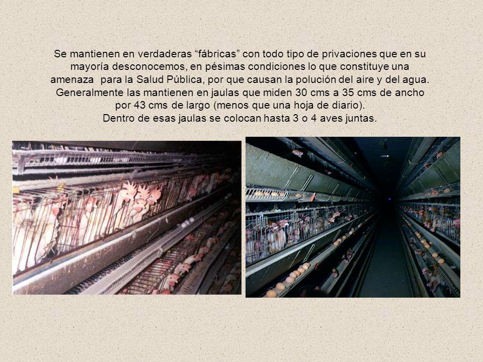 CRIACIÓN INTENSIVA Las gallinas ponedoras pasan toda su vida sin poder moverse, porque sus jaulas son de tamaño muy reducido; constantemente están pis