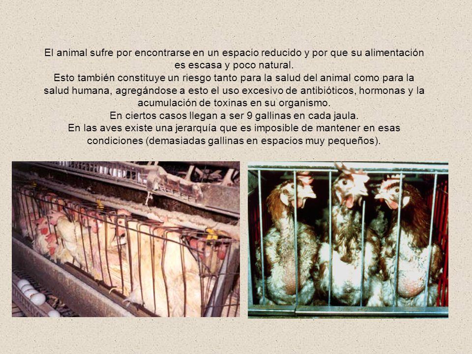 La creación industrial intensiva de gallinas obliga a que las aves se mantengan en condiciones poco naturales, porque para obtener el máximo de lucros