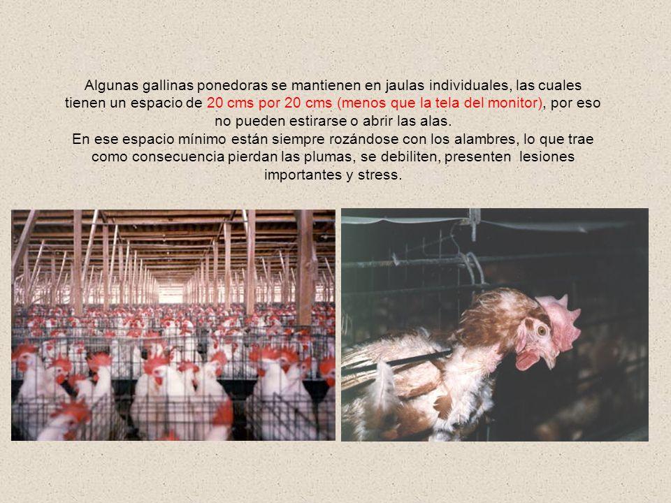 El animal sufre por encontrarse en un espacio reducido y por que su alimentación es escasa y poco natural. Esto también constituye un riesgo tanto par
