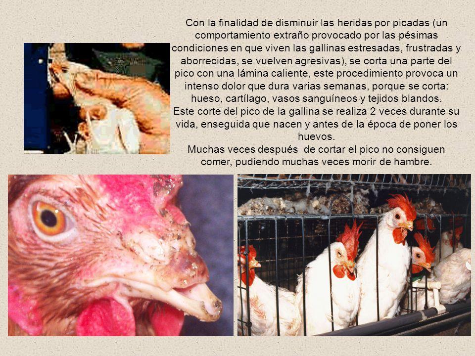 Algunas gallinas ponedoras se mantienen en jaulas individuales, las cuales tienen un espacio de 20 cms por 20 cms (menos que la tela del monitor), por