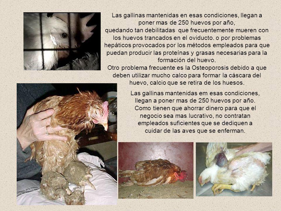 Con la finalidad de disminuir las heridas por picadas (un comportamiento extraño provocado por las pésimas condiciones en que viven las gallinas estre