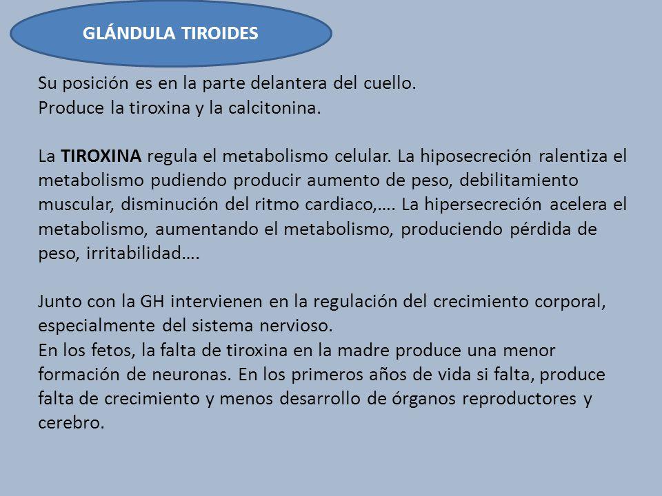 GLÁNDULA TIROIDES Su posición es en la parte delantera del cuello. Produce la tiroxina y la calcitonina. La TIROXINA regula el metabolismo celular. La
