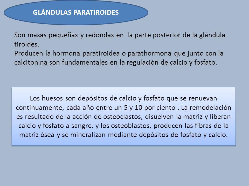 GLÁNDULAS PARATIROIDES Son masas pequeñas y redondas en la parte posterior de la glándula tiroides. Producen la hormona paratiroidea o parathormona qu
