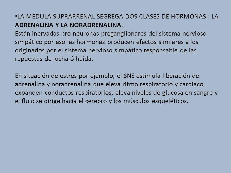 LA MÉDULA SUPRARRENAL SEGREGA DOS CLASES DE HORMONAS : LA ADRENALINA Y LA NORADRENALINA. Están inervadas pro neuronas preganglionares del sistema nerv