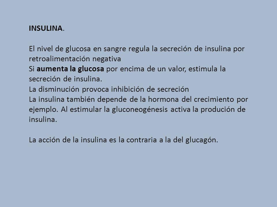 INSULINA. El nivel de glucosa en sangre regula la secreción de insulina por retroalimentación negativa Si aumenta la glucosa por encima de un valor, e