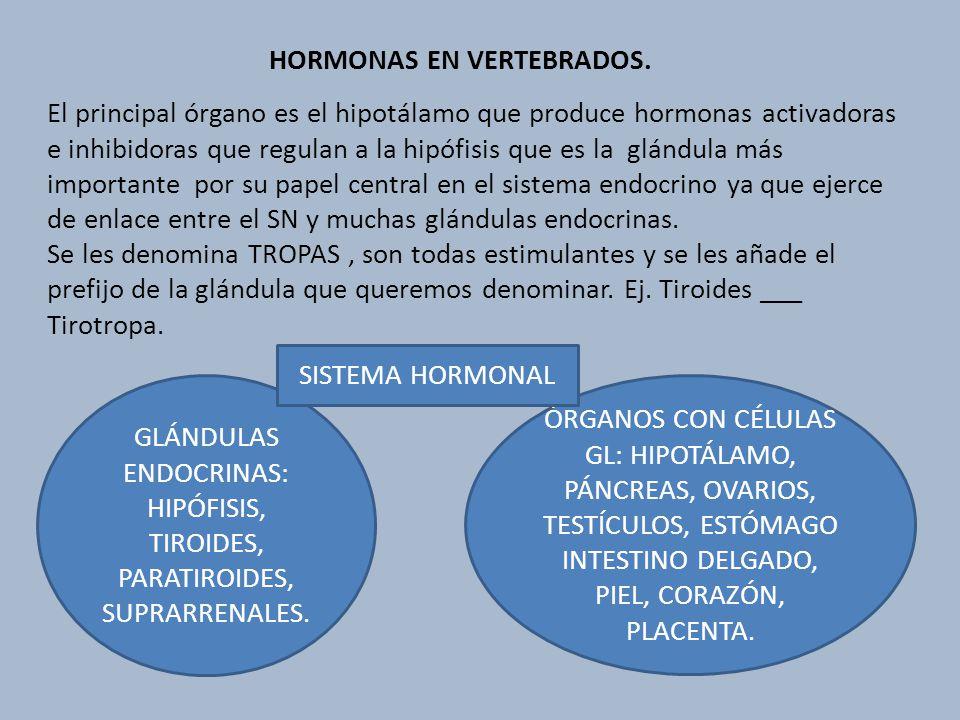HORMONAS EN VERTEBRADOS. El principal órgano es el hipotálamo que produce hormonas activadoras e inhibidoras que regulan a la hipófisis que es la glán