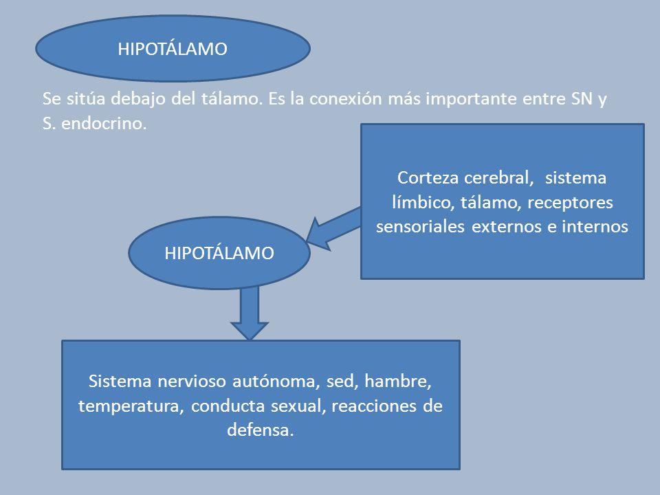 HIPOTÁLAMO Se sitúa debajo del tálamo. Es la conexión más importante entre SN y S. endocrino. HIPOTÁLAMO Corteza cerebral, sistema límbico, tálamo, re