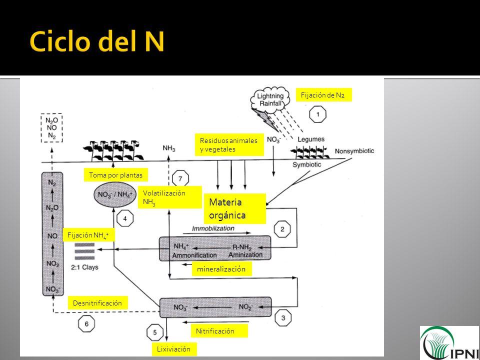 Materia orgánica mineralización Toma por plantas Fijación de N2 Residuos animales y vegetales Nitrificación Lixiviación Desnitrificación Volatilizació