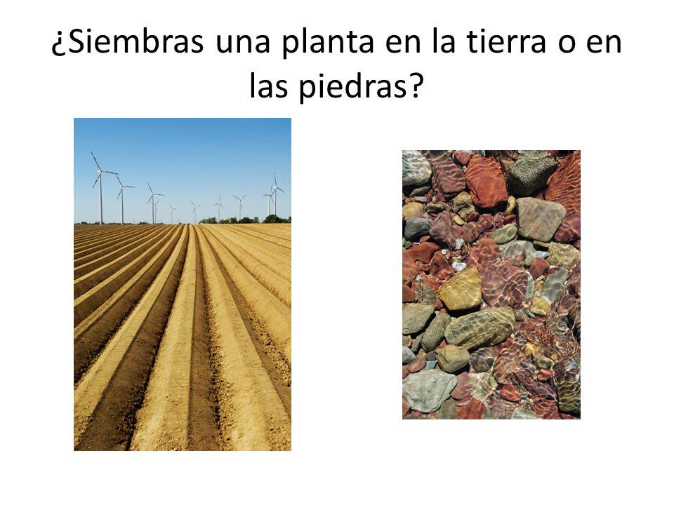 ¿Siembras una planta en la tierra o en las piedras?