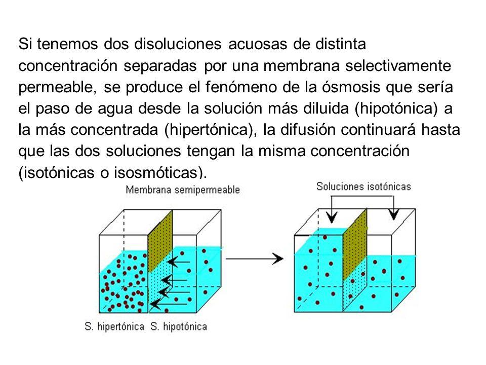 Si tenemos dos disoluciones acuosas de distinta concentración separadas por una membrana selectivamente permeable, se produce el fenómeno de la ósmosi
