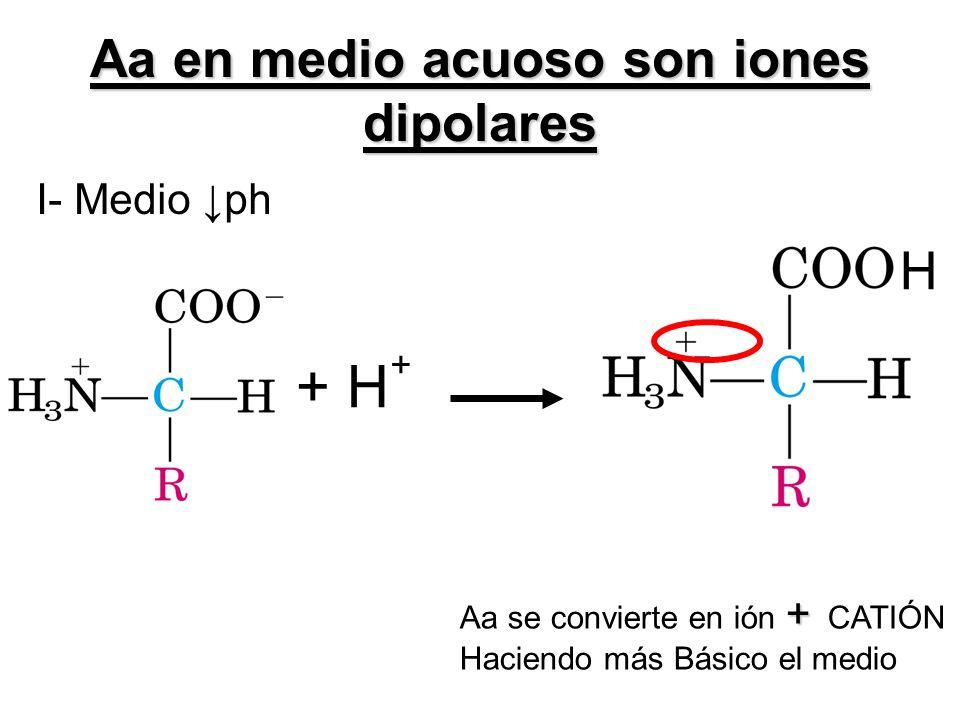Aa en medio acuoso son iones dipolares I- Medio ph H + Aa se convierte en ión + CATIÓN Haciendo más Básico el medio + H +