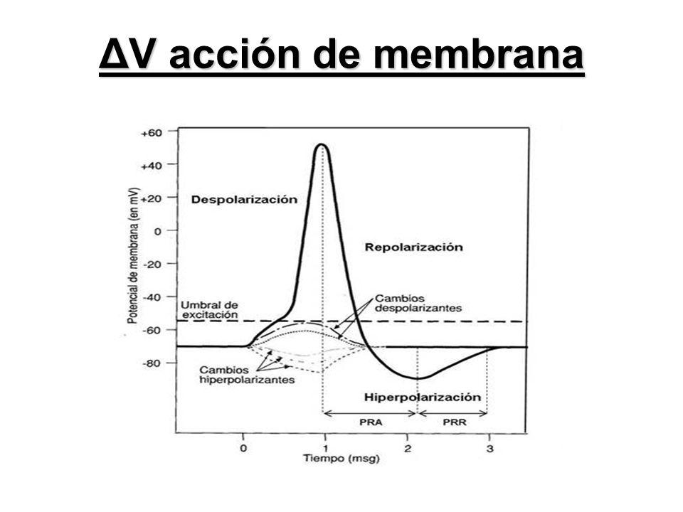 ΔV acción de membrana