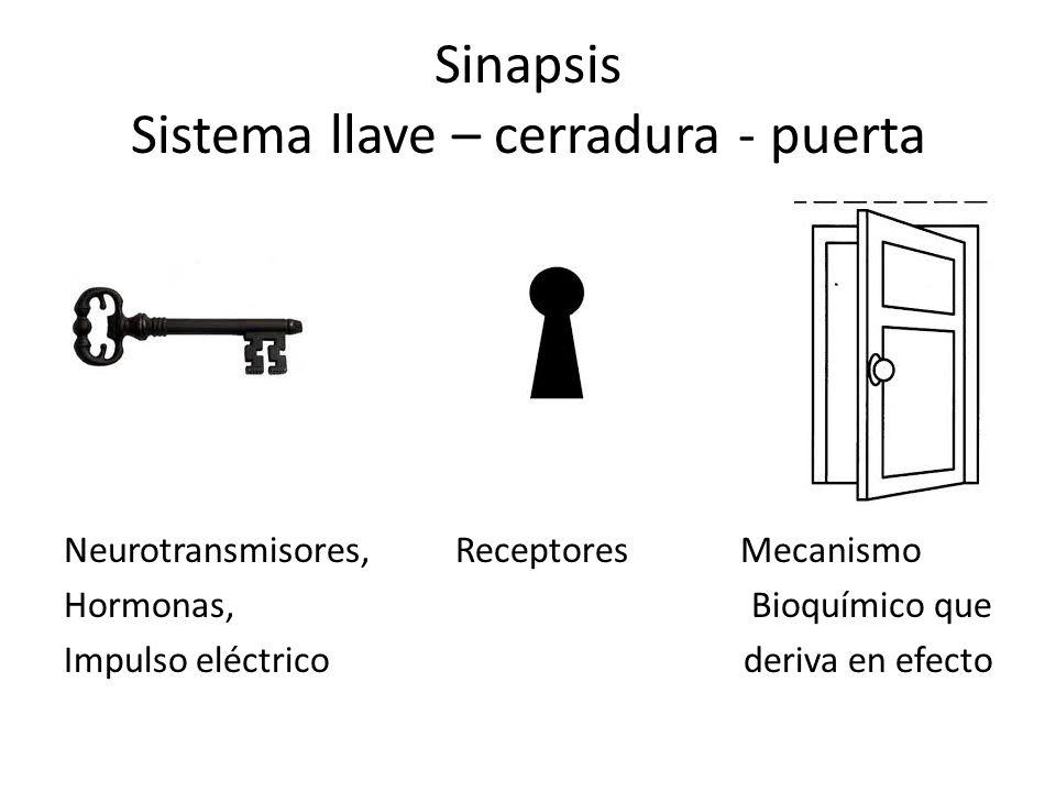 Sinapsis Sistema llave – cerradura - puerta Neurotransmisores, Receptores Mecanismo Hormonas, Bioquímico que Impulso eléctrico deriva en efecto