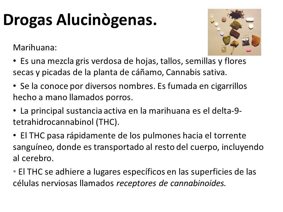 Drogas Alucinògenas. Marihuana: Es una mezcla gris verdosa de hojas, tallos, semillas y flores secas y picadas de la planta de cáñamo, Cannabis sativa