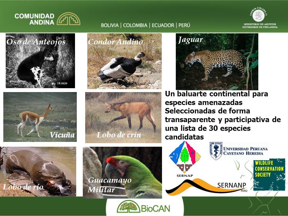 Oso de AnteojosCondor Andino Vicuña Lobo de crin Jaguar Guacamayo Militar Lobo de río Un baluarte continental para especies amenazadas Seleccionadas de forma transaparente y participativa de una lista de 30 especies candidatas