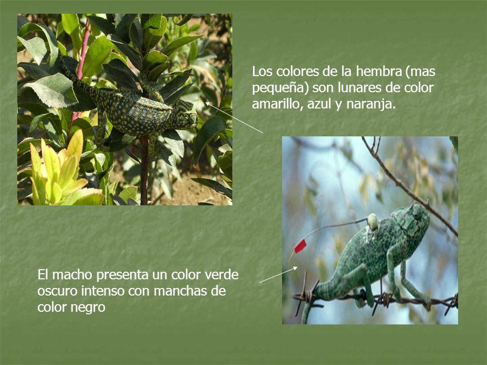 Los colores de la hembra (mas pequeña) son lunares de color amarillo, azul y naranja. El macho presenta un color verde oscuro intenso con manchas de c