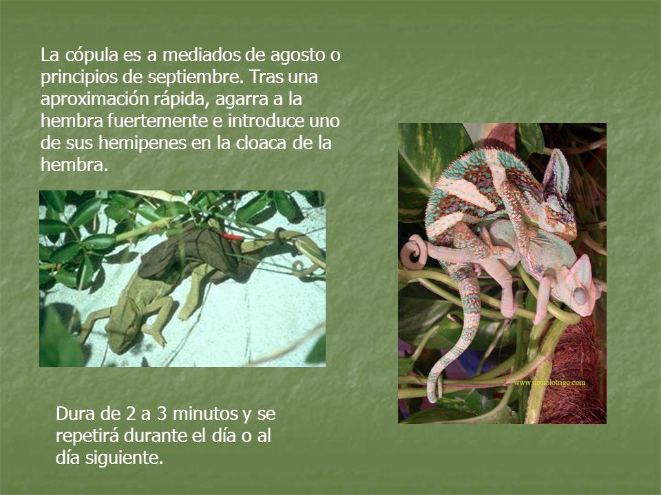 La cópula es a mediados de agosto o principios de septiembre. Tras una aproximación rápida, agarra a la hembra fuertemente e introduce uno de sus hemi