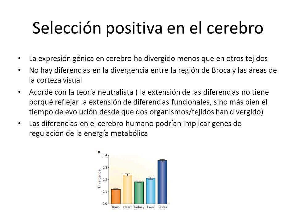 Selección positiva en el cerebro La expresión génica en cerebro ha divergido menos que en otros tejidos No hay diferencias en la divergencia entre la