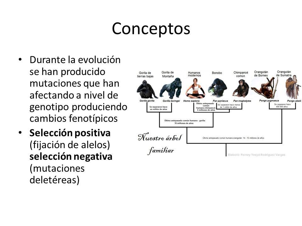 Conceptos Durante la evolución se han producido mutaciones que han afectando a nivel de genotipo produciendo cambios fenotípicos Selección positiva (f