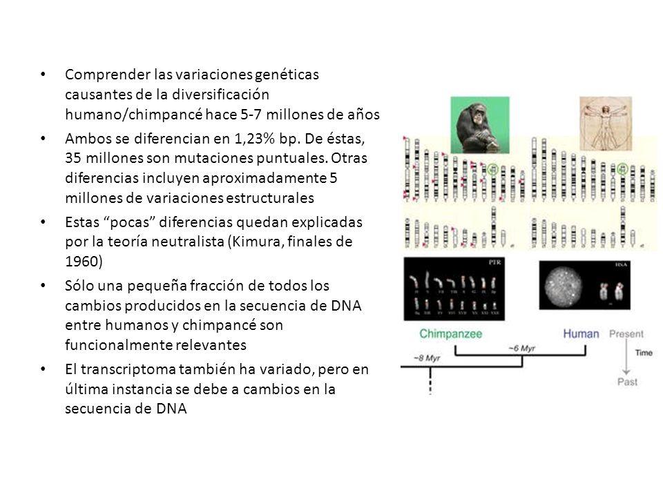 Comprender las variaciones genéticas causantes de la diversificación humano/chimpancé hace 5-7 millones de años Ambos se diferencian en 1,23% bp. De é