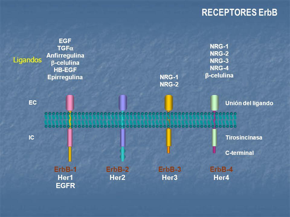 Homodimerización (HER2 3+) Requiere sobre-expresión de HER2 No precisa ligando K pY KKKKK K K X heregulin K pY X heregulin K TGF K K pY EGFR HER3 HER2 Mecanismos de Activación de HER2 HER3/EGFR EGFR/HER2 HER2/HER2 Receptor sin ligando Heterodimerización (HER2 1/2 +) No requiere sobre-expresión de HER2 Depende de ligando Albanell J.
