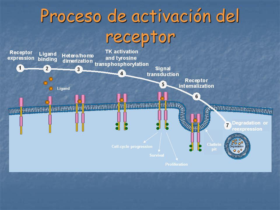 Vías de señalización de ErbB Grb2 Sos Shc Grb2 Sos PI3K Akt Ras Raf MEK1/2 MAPK BAD SupervivenciaProliferación PTEN mTOR Progresión del ciclo celular FKHR GSK3 p27 Cyclin D1, E