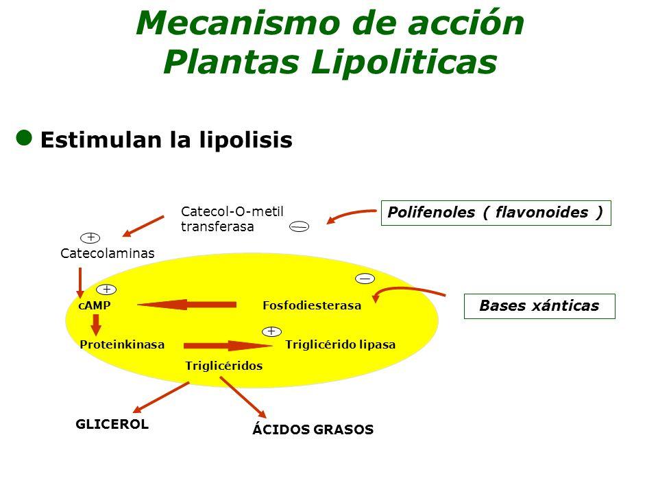 Estimulan la lipolisis Mecanismo de acción Plantas Lipoliticas Bases xánticas cAMP Fosfodiesterasa Proteinkinasa Triglicérido lipasa Triglicéridos Polifenoles ( flavonoides ) Catecol-O-metil transferasa Catecolaminas GLICEROL ÁCIDOS GRASOS + + +