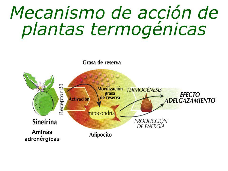 Aminas adrenérgicas Mecanismo de acción de plantas termogénicas