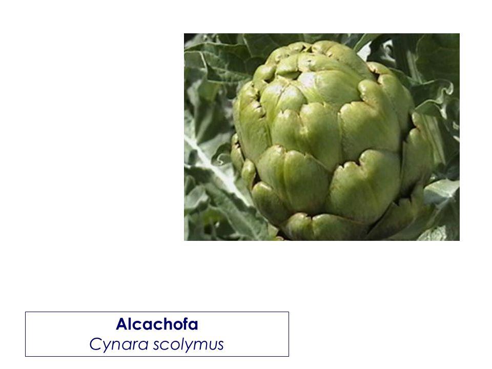 Alcachofa Cynara scolymus