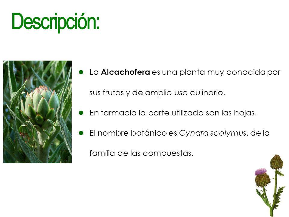 La Alcachofera es una planta muy conocida por sus frutos y de amplio uso culinario. En farmacia la parte utilizada son las hojas. El nombre botánico e