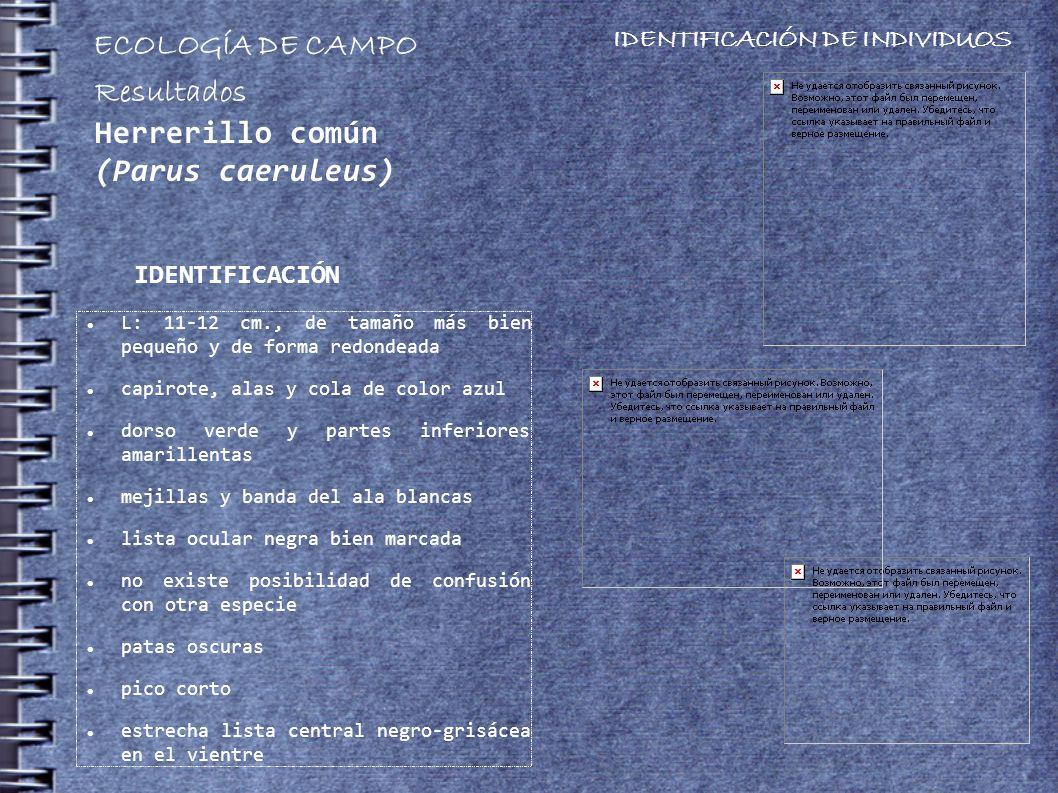 L: 11-12 cm., de tamaño más bien pequeño y de forma redondeada capirote, alas y cola de color azul dorso verde y partes inferiores amarillentas mejillas y banda del ala blancas lista ocular negra bien marcada no existe posibilidad de confusión con otra especie patas oscuras pico corto estrecha lista central negro-grisácea en el vientre IDENTIFICACIÓN ECOLOGÍA DE CAMPO IDENTIFICACIÓN DE INDIVIDUOS Resultados Herrerillo común (Parus caeruleus)